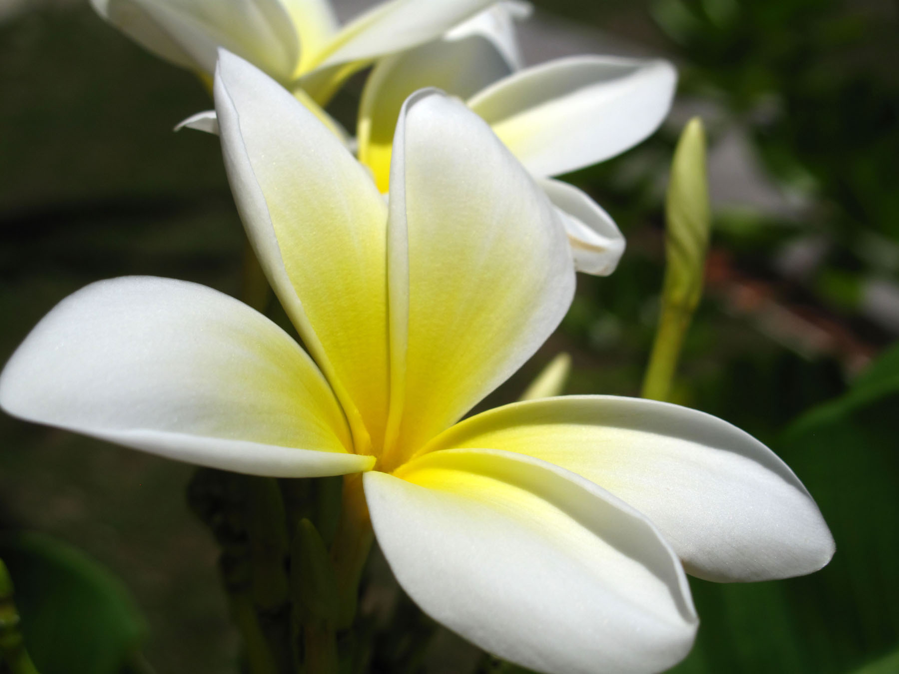 bahamas, abaco, green turtle cay, new plymouth, tropical flower, frangipani, plumeria