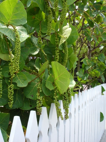 bahamas, abaco, green turtle cay, sea grapes