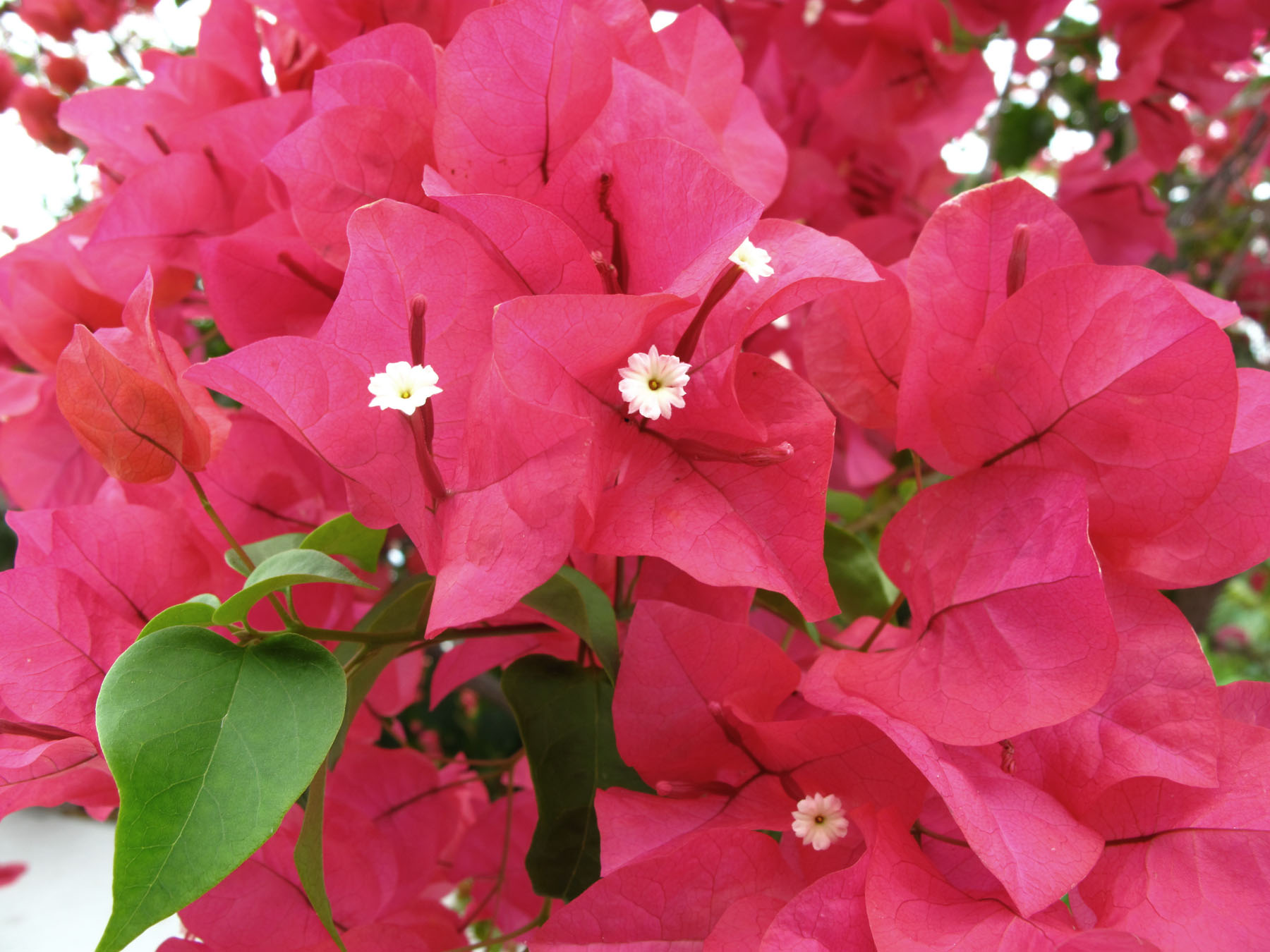 bahamas, abaco, green turtle cay, bougainvillea, tropical flower