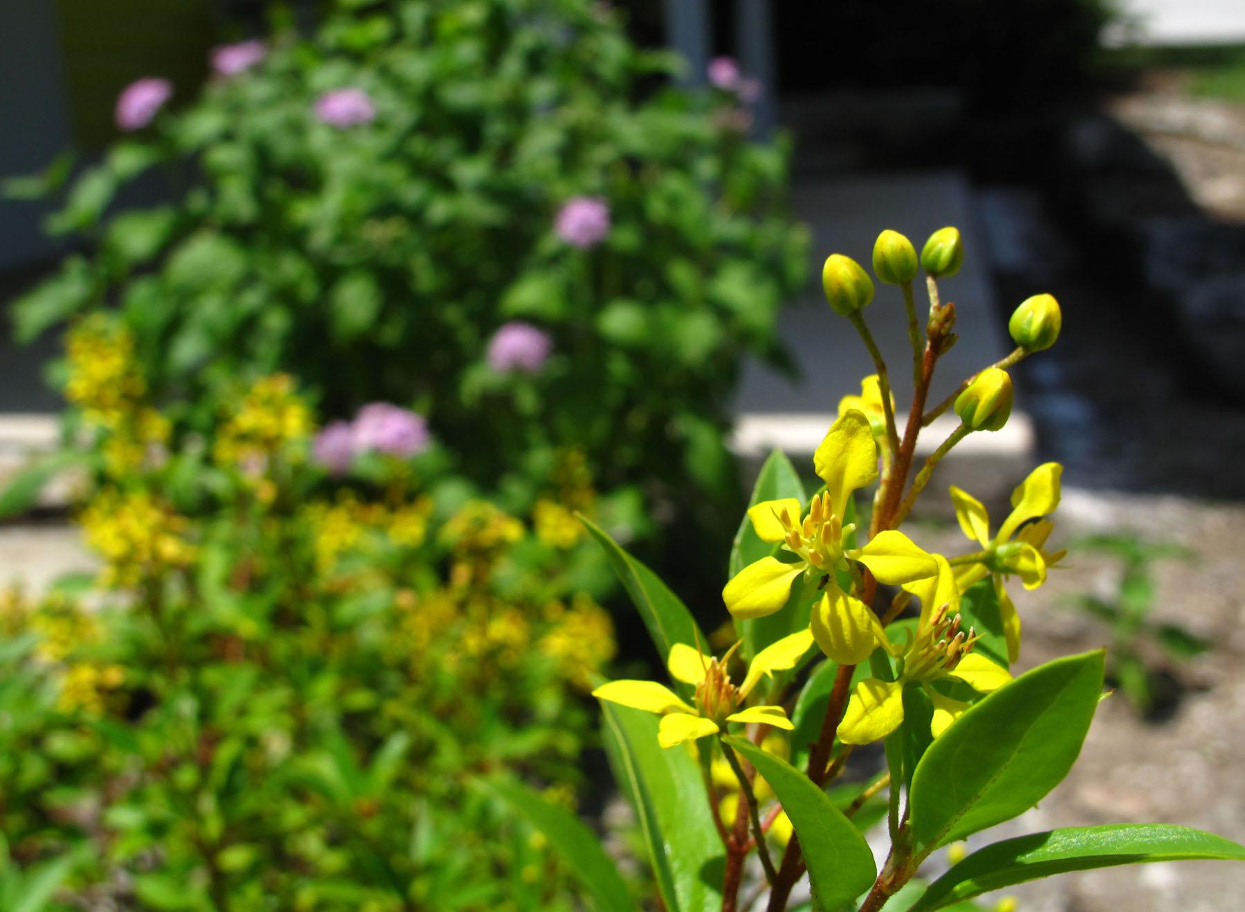 abaco, bahamas, green turtle cay, yellow flower