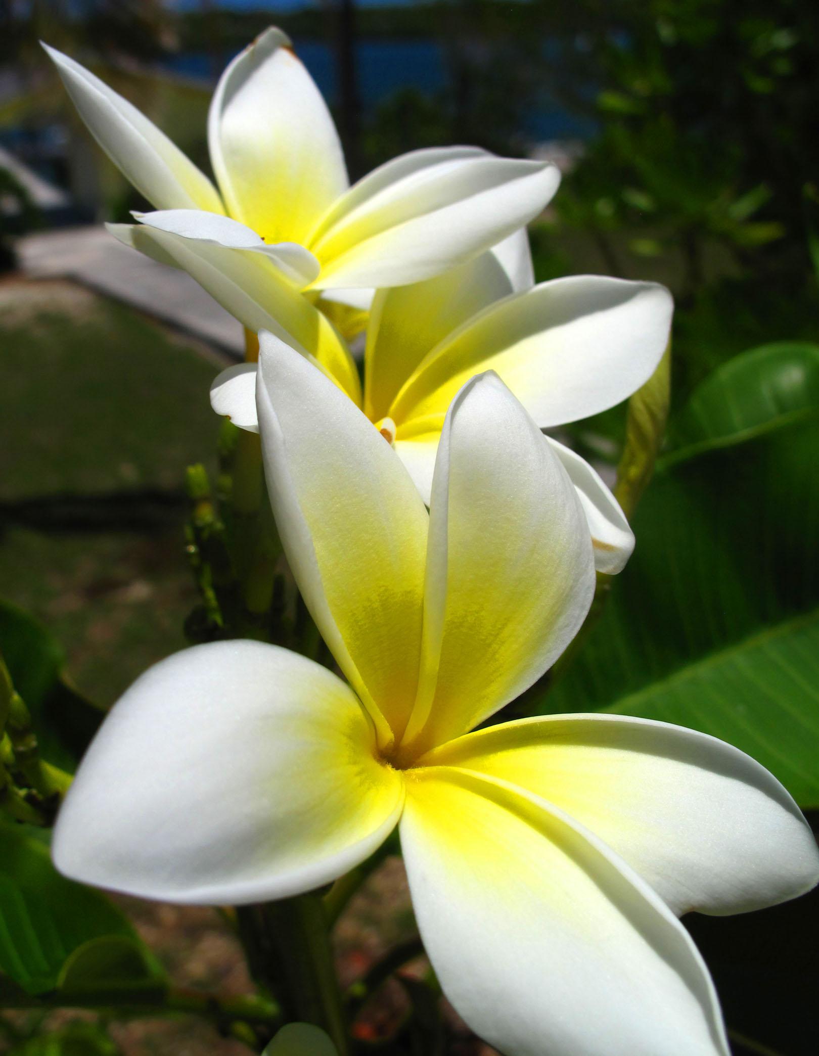 Frangipani Flowers, Green Turtle Cay, Bahamas