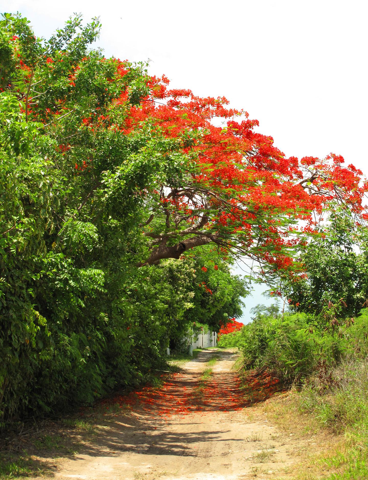 bahamas, abaco, green turtle cay, bougainvillea