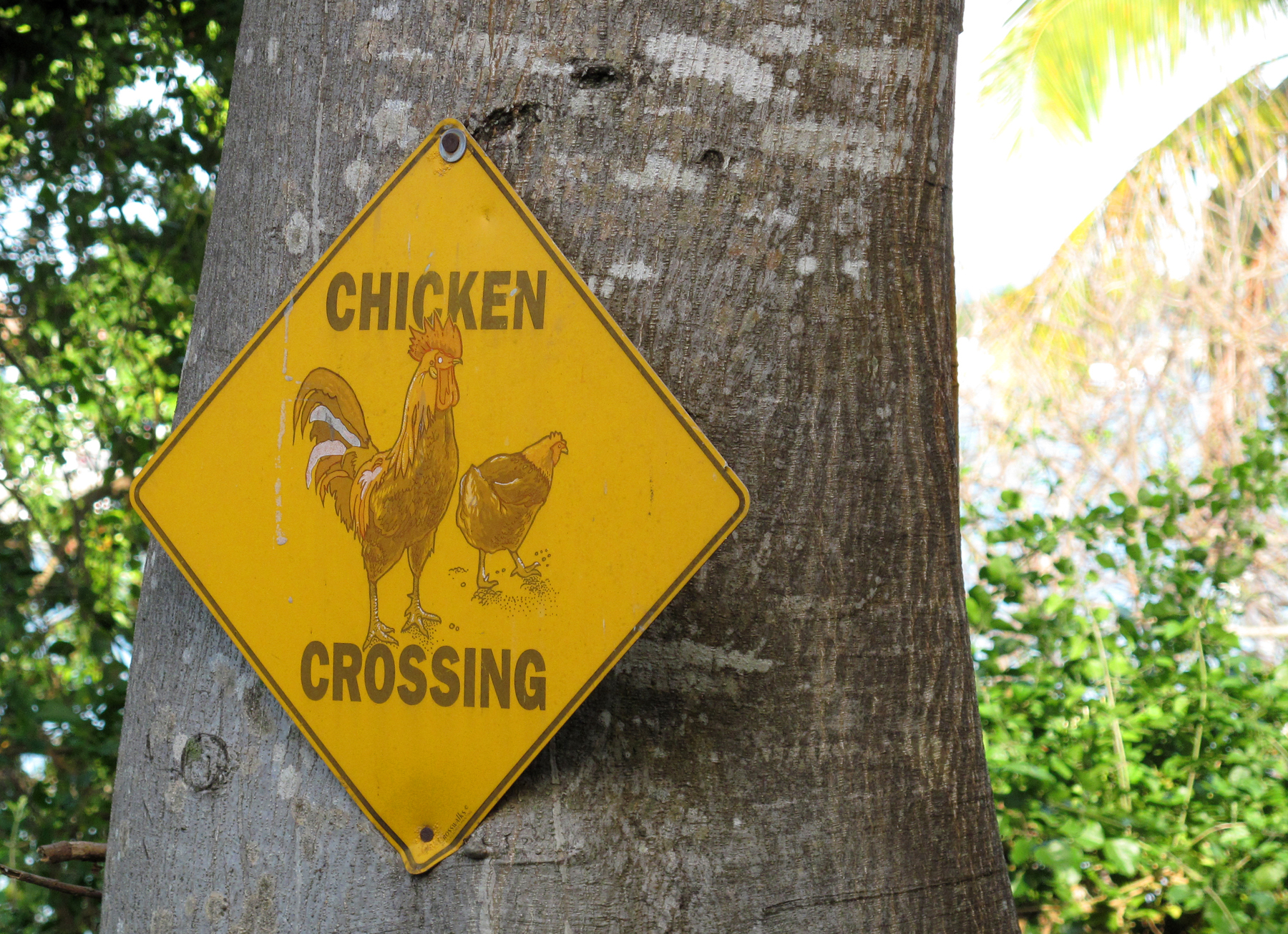 bahamas, green turtle cay, abaco, chicken
