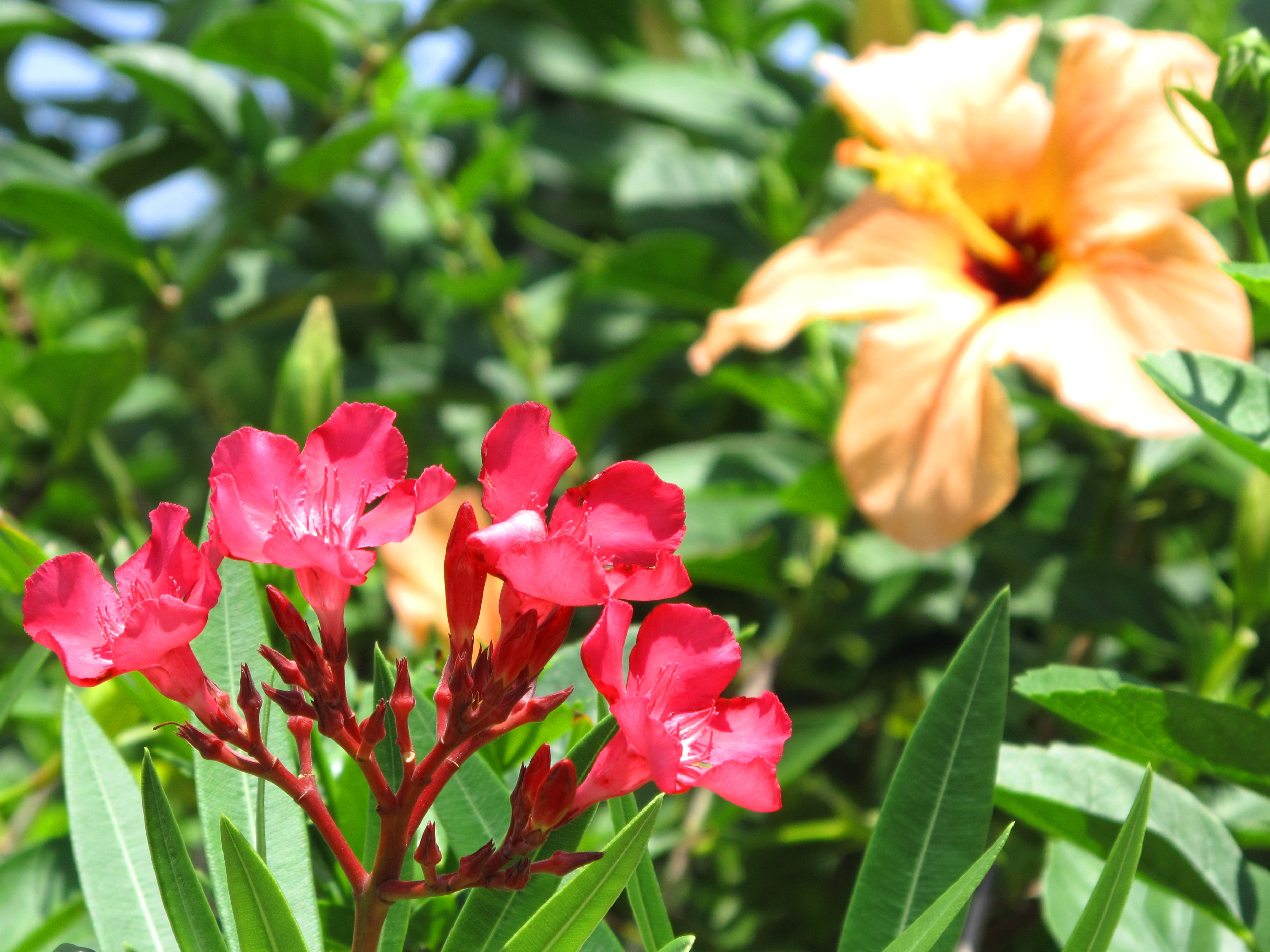 bahamas, abaco, green turtle cay, oleander, hibiscus