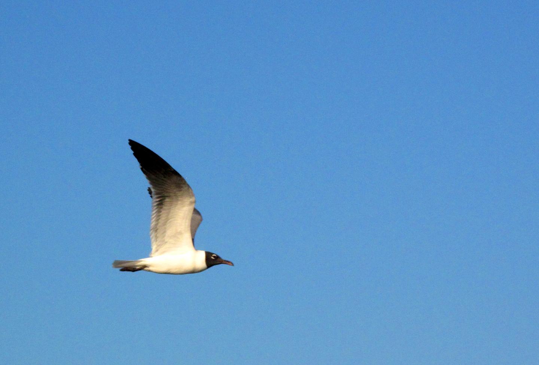 bahamas, abaco, green turtle cay, seagull, bird