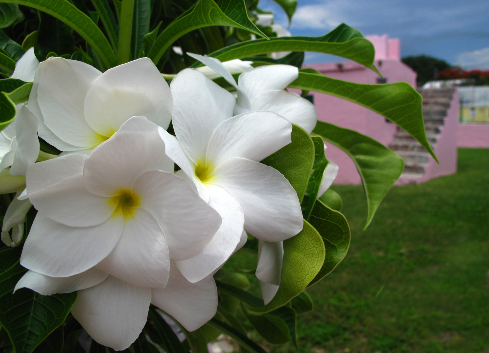 bahamas, abaco, green turtle cay, frangipani, tropical flower