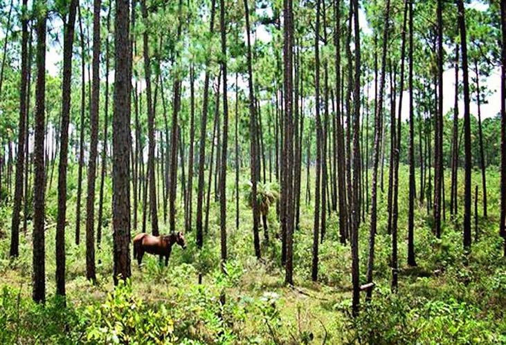 bahamas, abaco, wild horses, barbs, spanish colonial