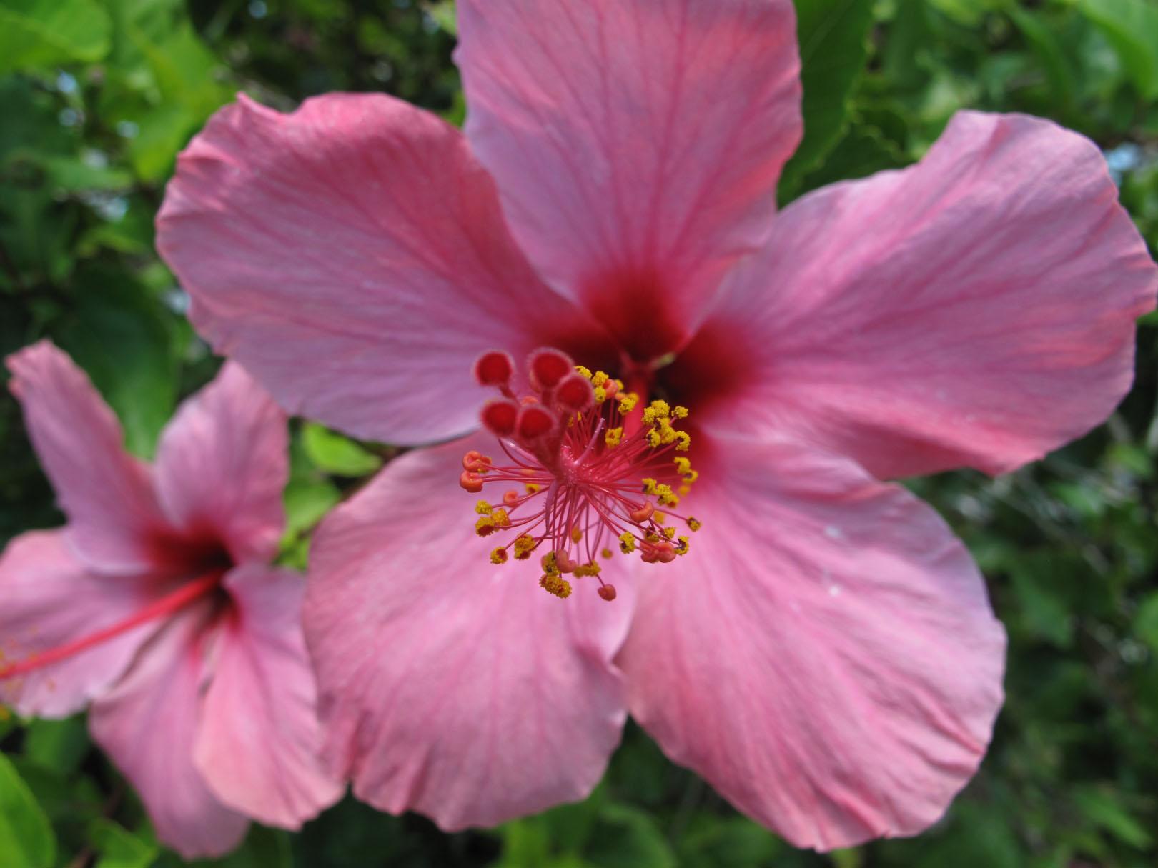 pink hib 6