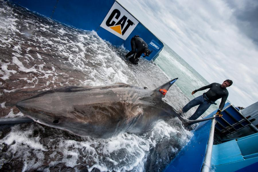 Great White Shark Lydia is Being Tracked by OCEARCH