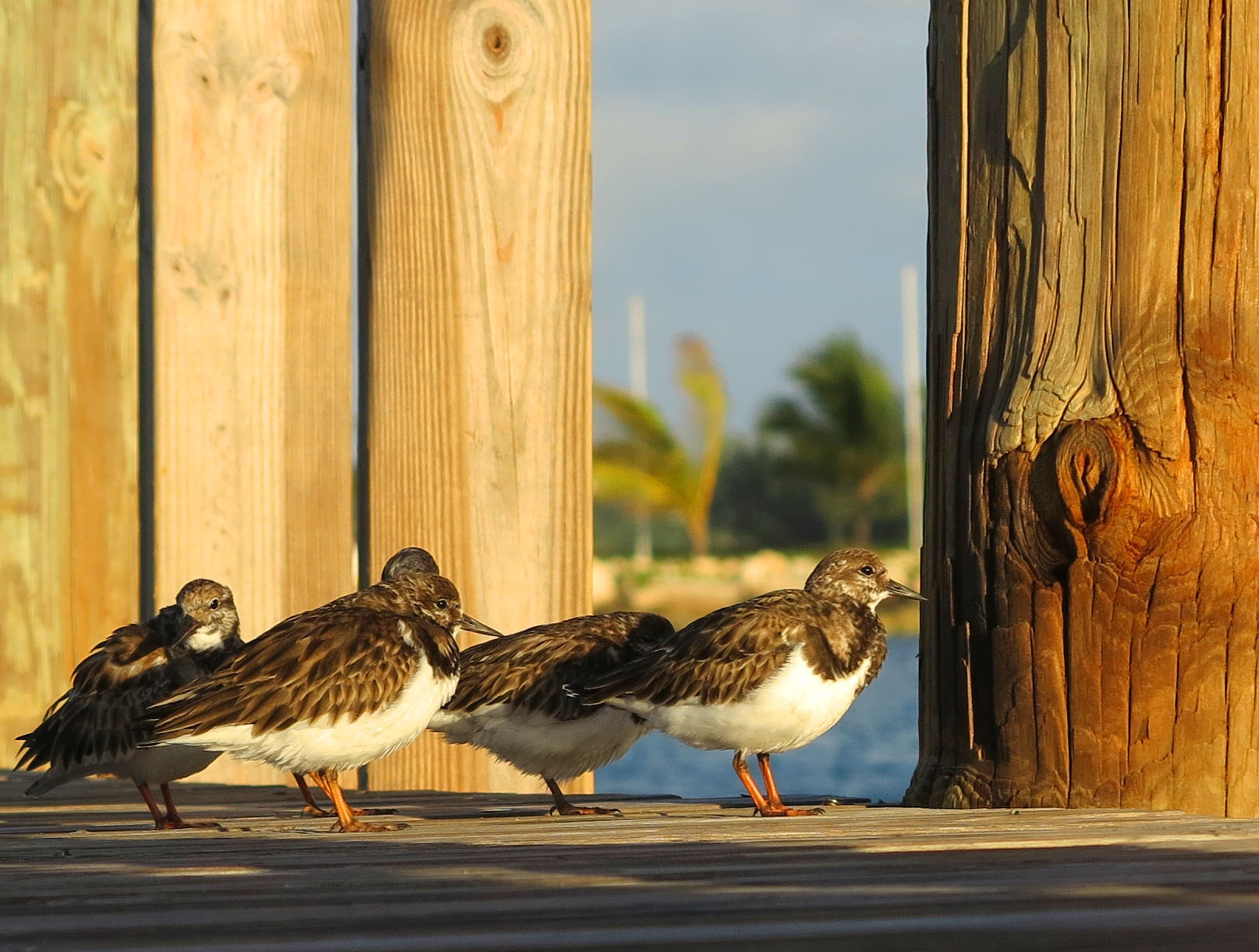 bahamas, abaco, green turtle cay, wildlife, birds