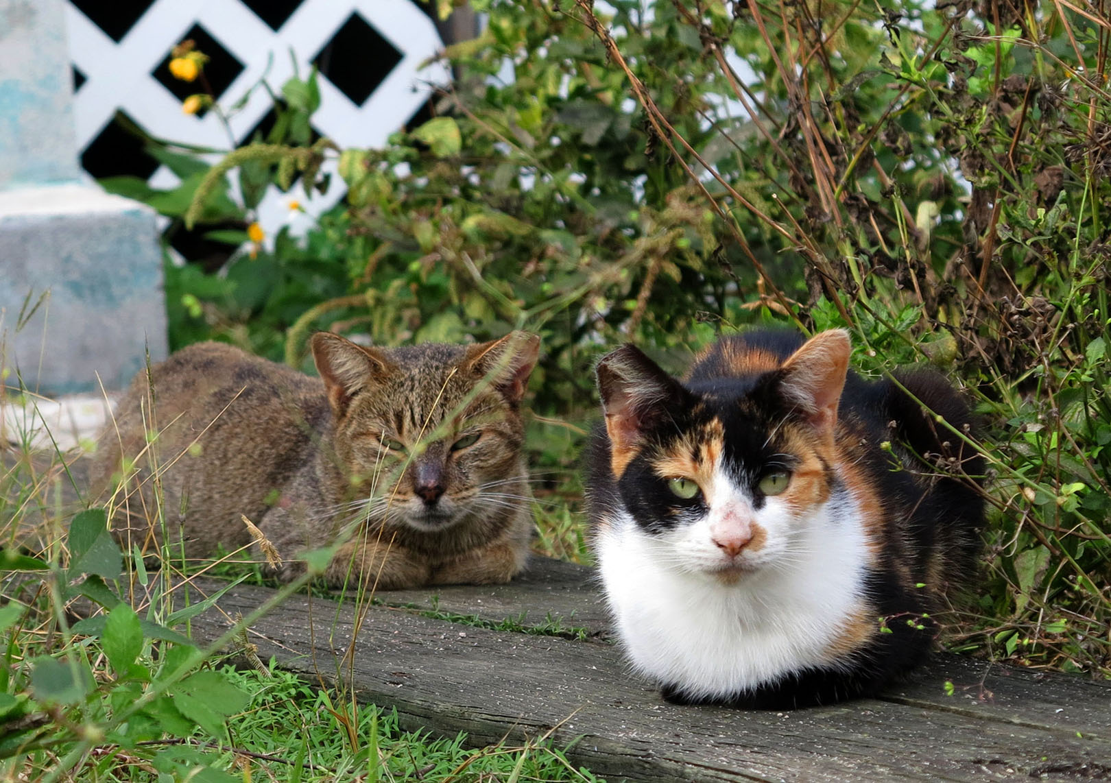 Feral cats - Green Turtle Cay