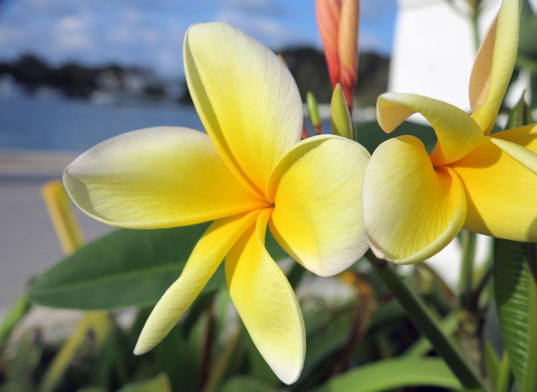 bahamas, abaco, green turtle cay, frangipani, plumeria, horticultura, gardening