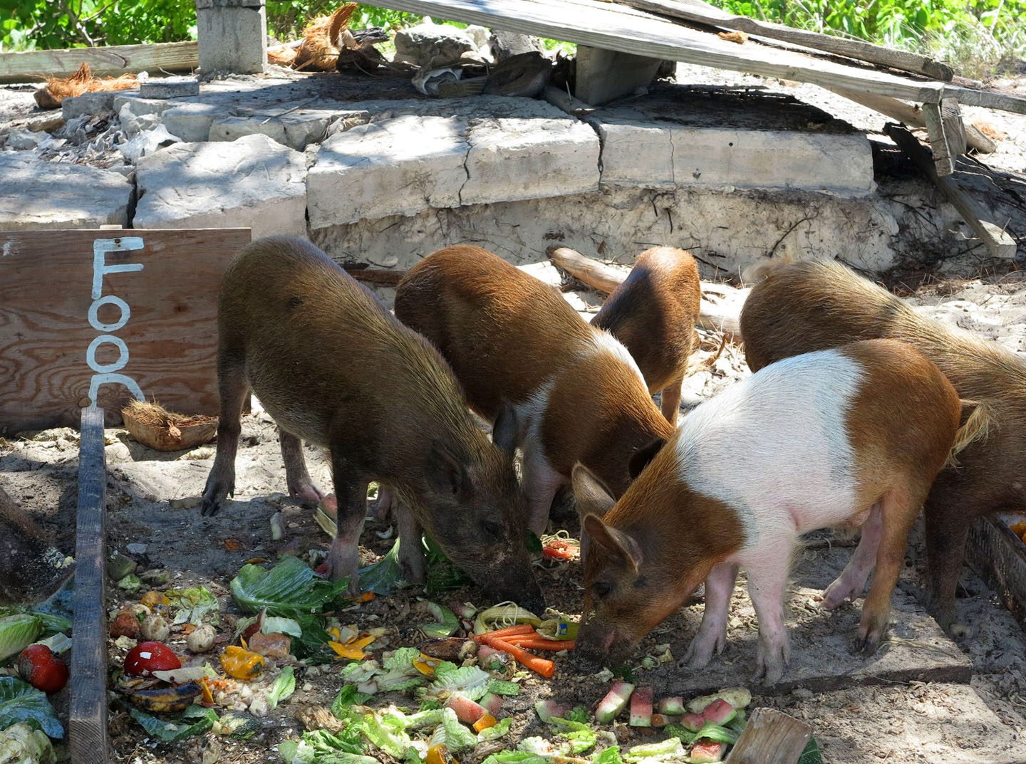 bahamas, abaco, green turtle cay, no name, pigs