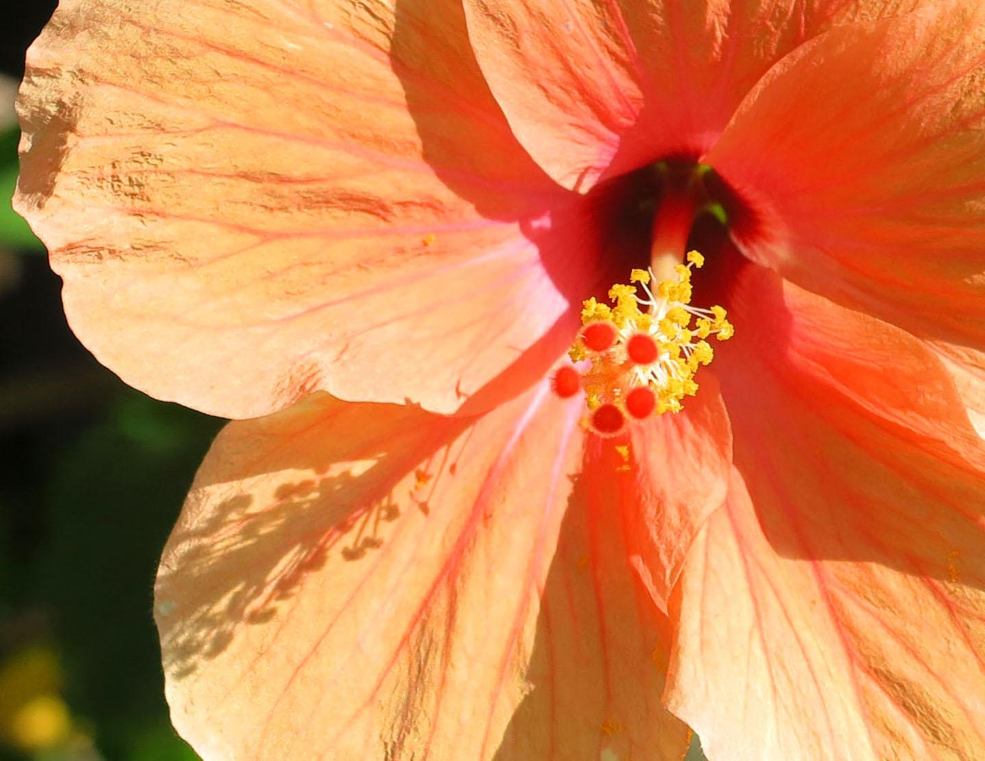 Peach Hibiscus - Green Turtle Cay, Bahamas. www.LittleHousebytheFerry.com