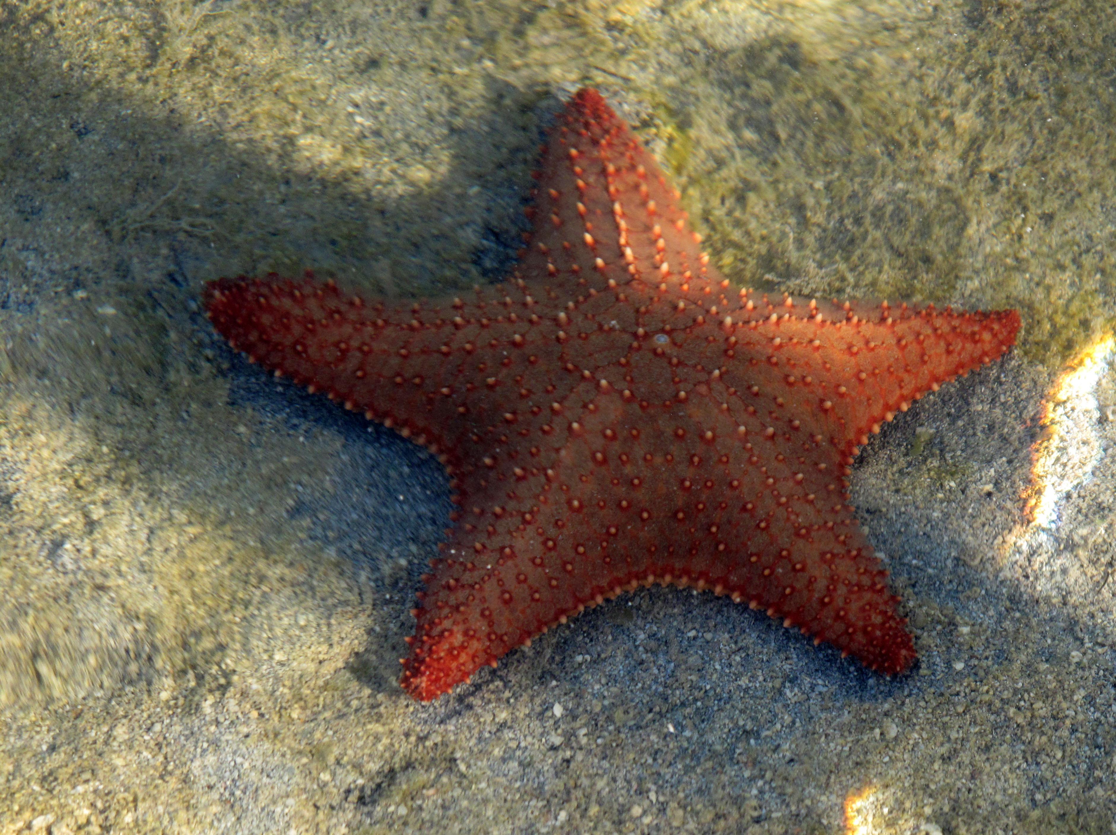 Starfish at Green Turtle Cay, Abaco, Bahamas.