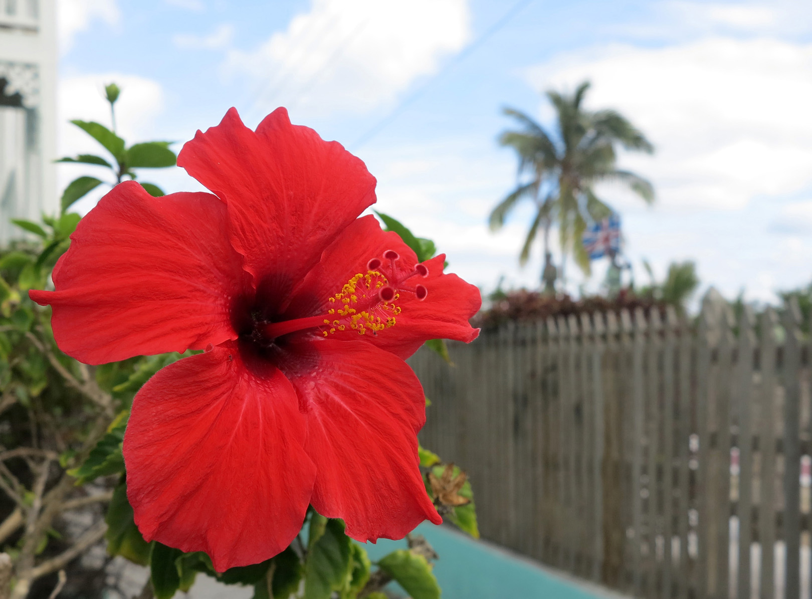 Red hibiscus, Green Turtle Cay, Abaco