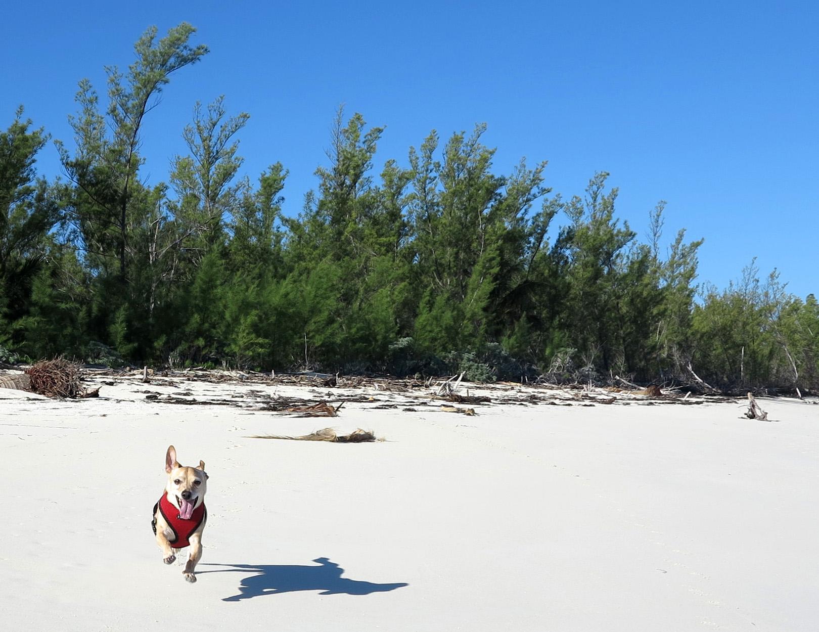 Happy dog on the beach - Green Turtle Cay, Bahamas