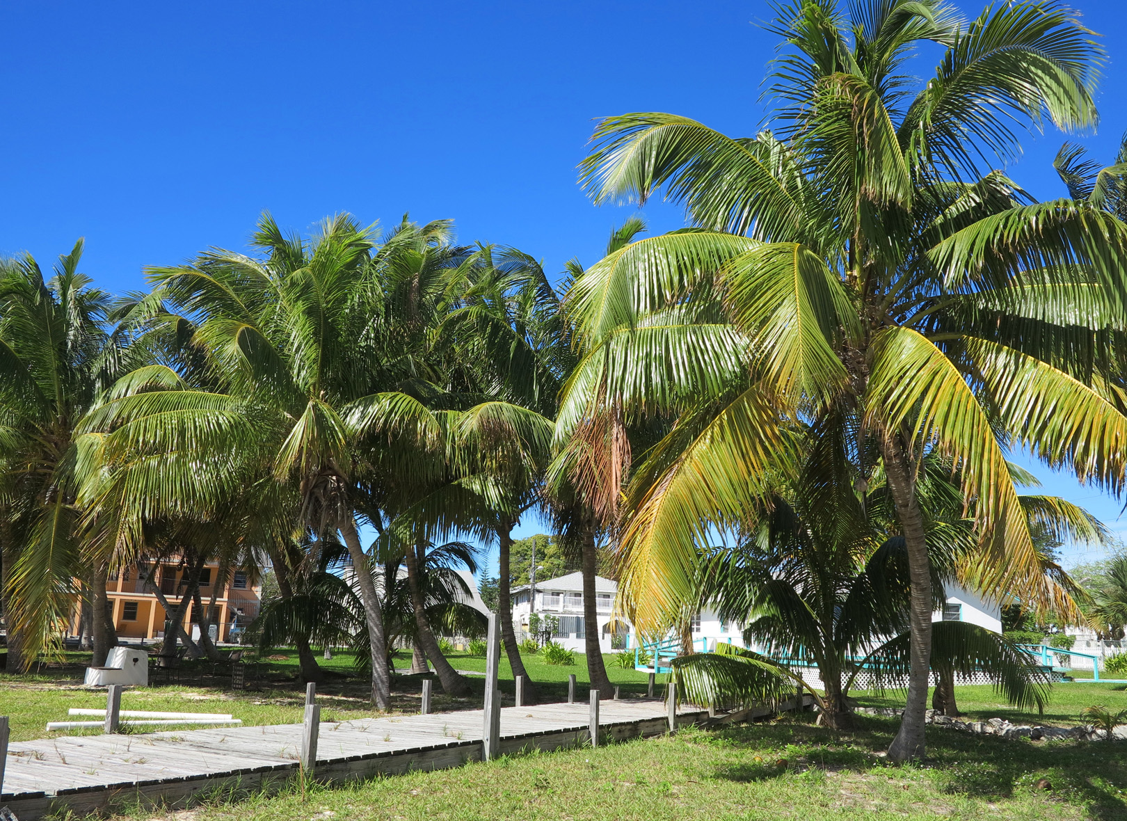 South Beach Palms - Green Turtle Cay, Abaco, Bahamas.