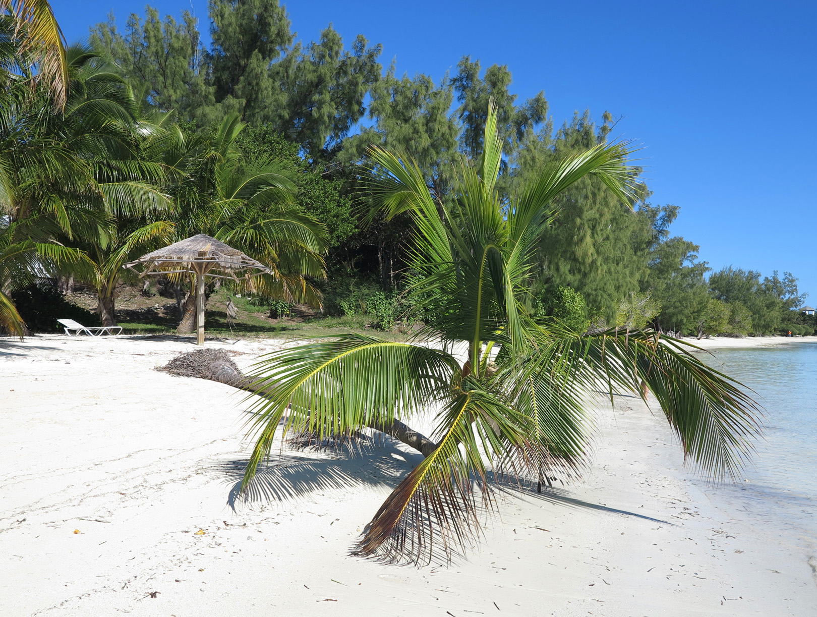 Fallen palm, Green Turtle Cay, Abaco, Bahamas