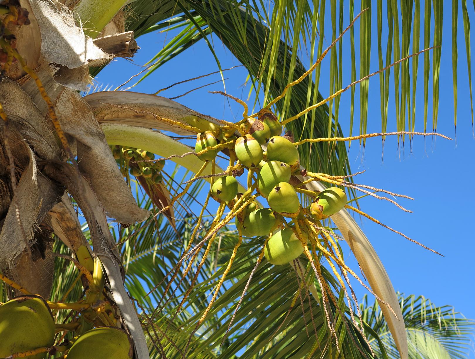 Coconuts - Green Turtle Cay, Abaco, Bahamas