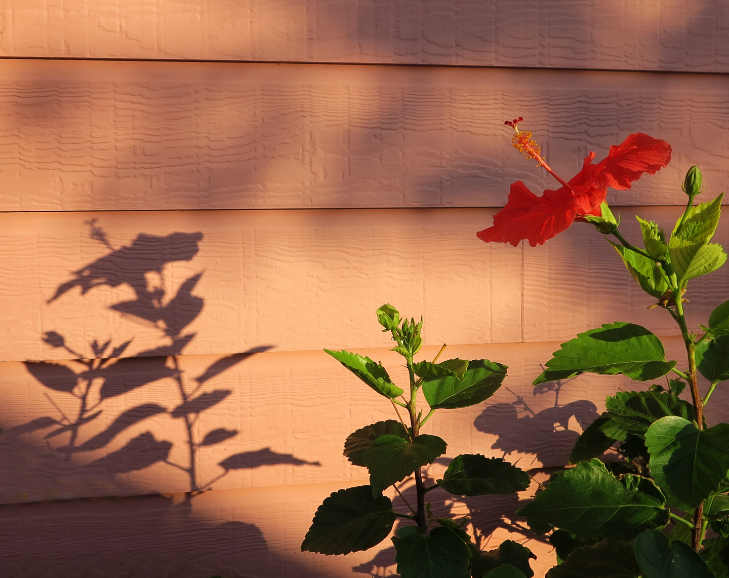 Hibiscus at sunset, Green Turtle Cay, Bahamas.