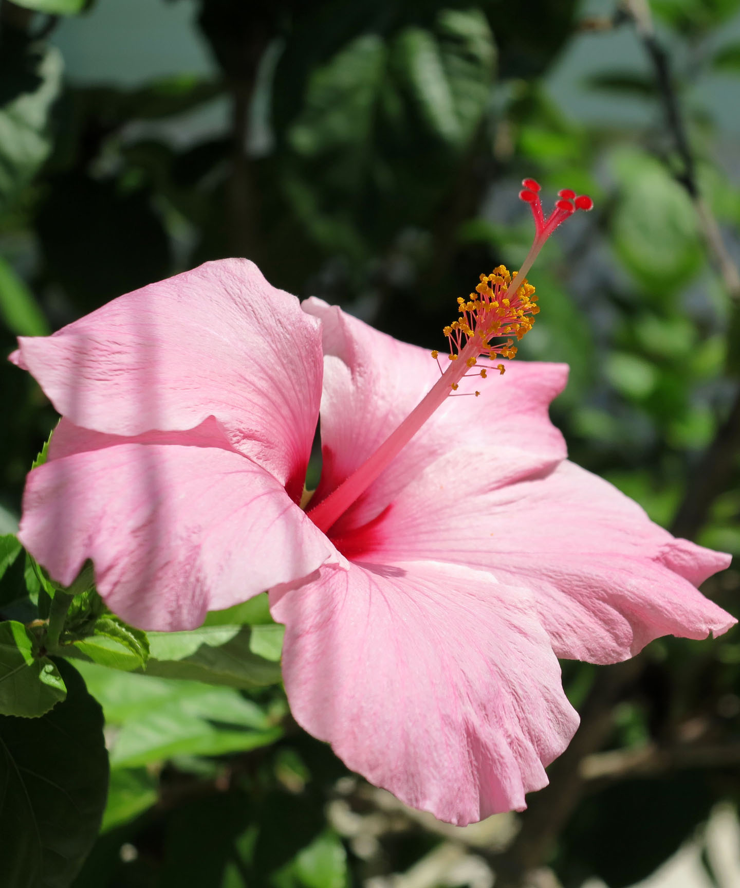 Pink Hibiscus, Green Turtle Cay, Bahamas