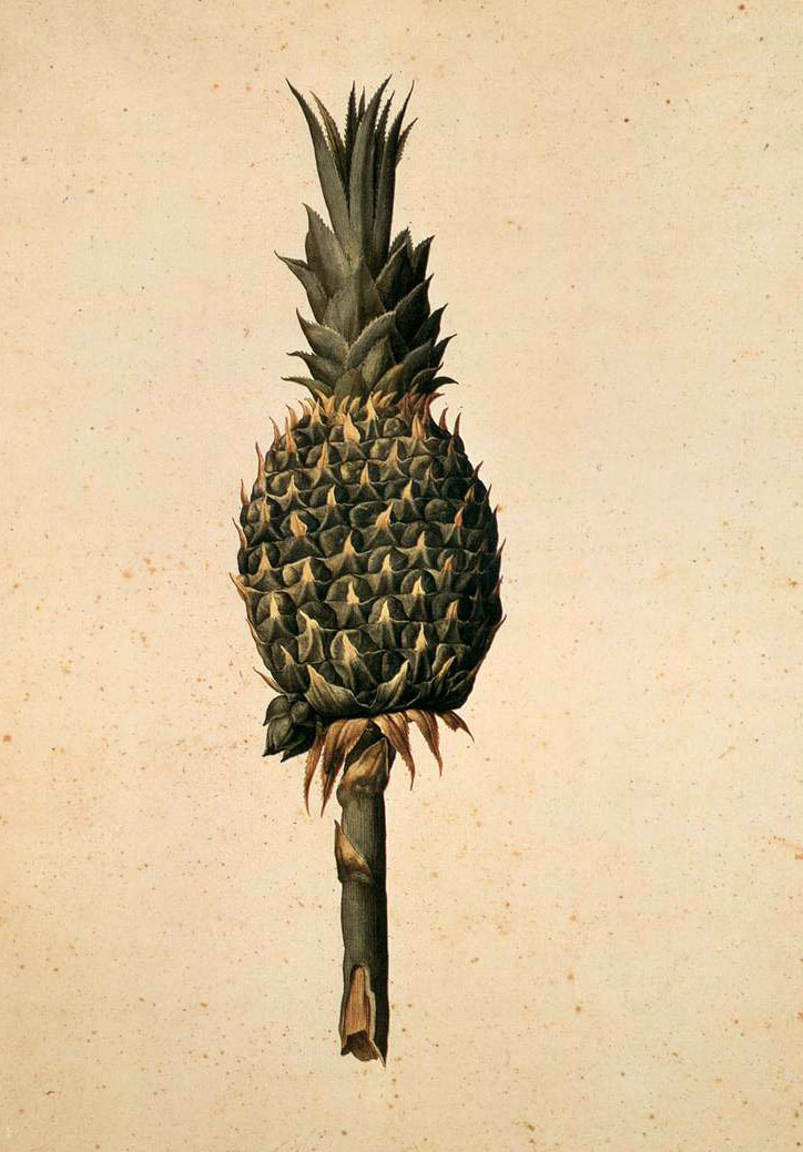 jacopo_ligozzi_-_pineapple_bromelia_ananas_-_wga13013