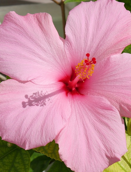 Pink Hibiscus - Green Turtle Cay, Abaco, Bahamas