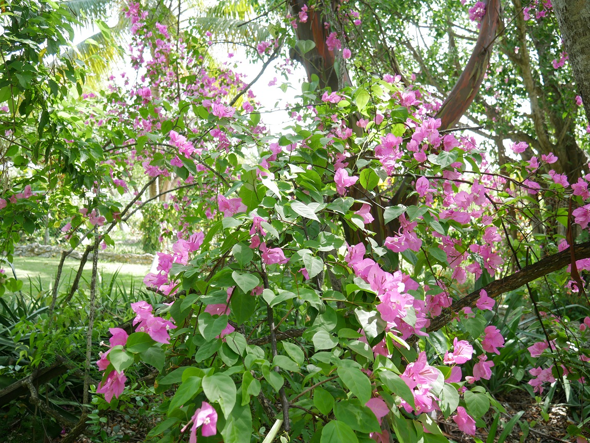www.LittleHousebytheFerry.com - Daily Photo - Bougainvillea in the Garden of the Lowe Art Gallery, Green Turtle Cay, Abaco, Bahamas