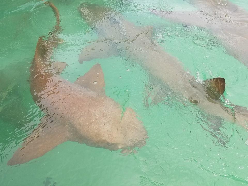 Sharks - Photo by Cynthia Lull