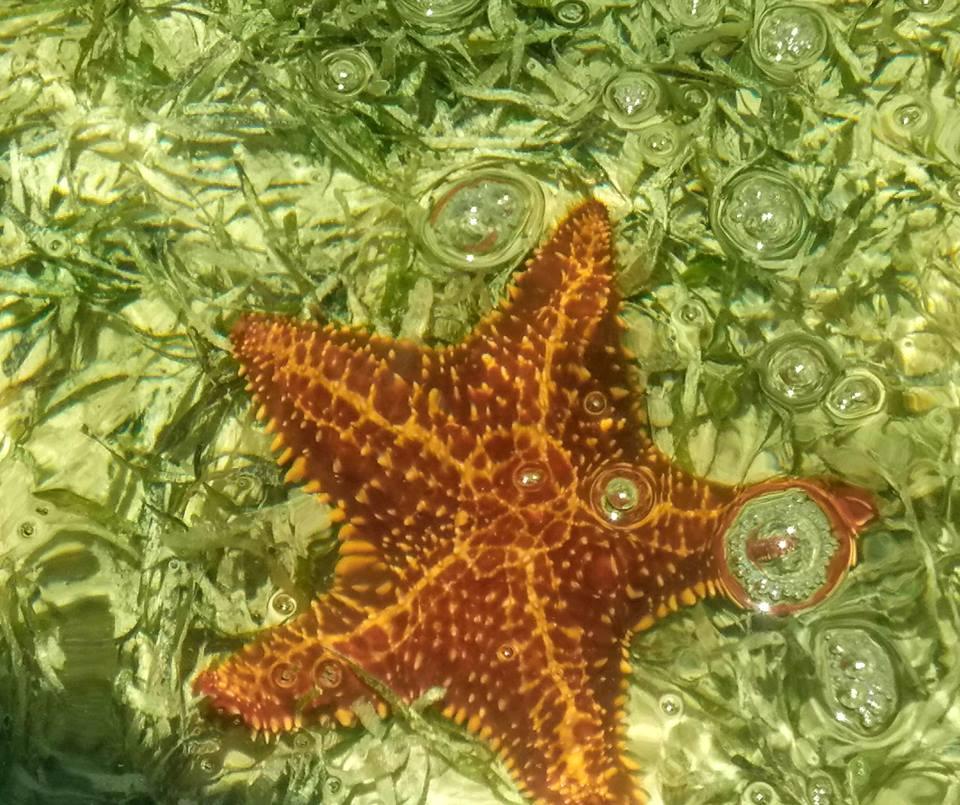 Starfish in Abaco, Bahamas