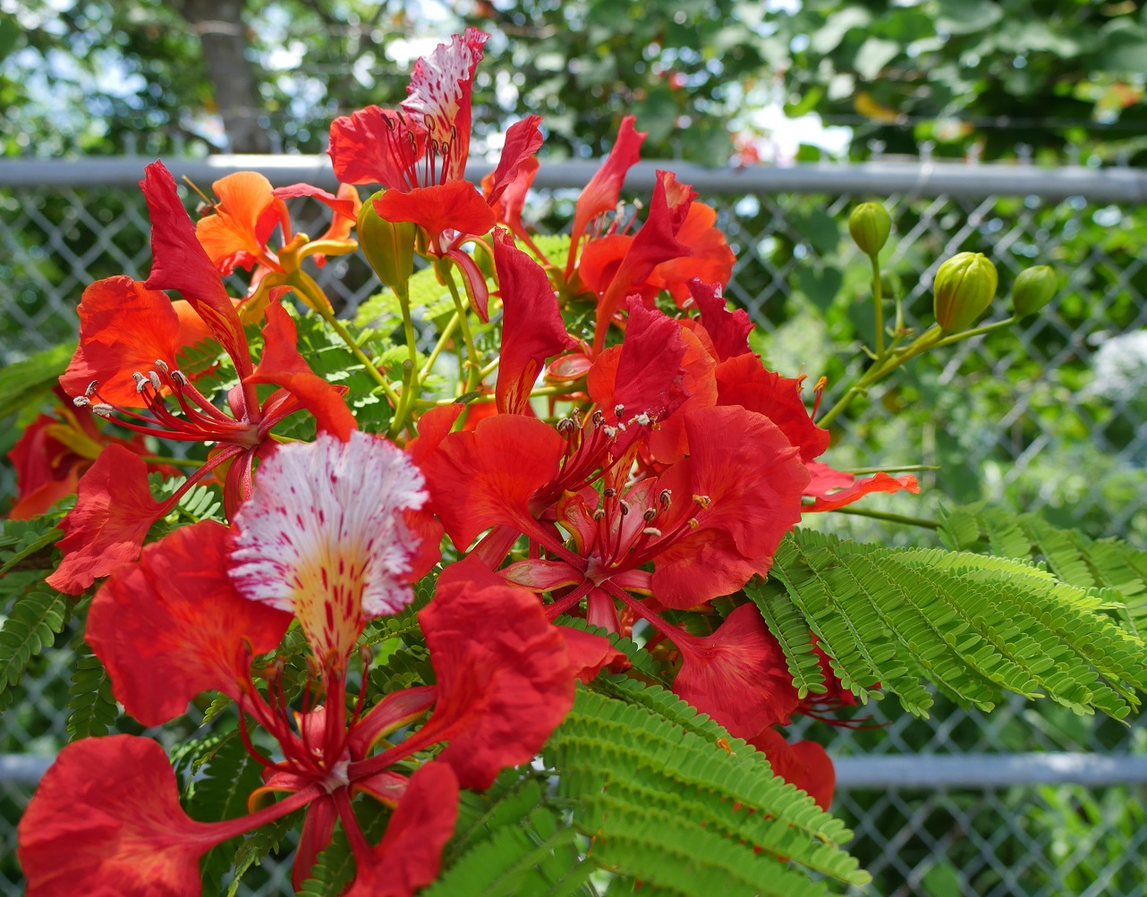 Royal Poinciana Blooms - Green Turtle Cay