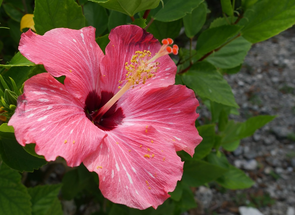 Red Hibiscus - Green Turtle Cay, Abaco, Bahamas