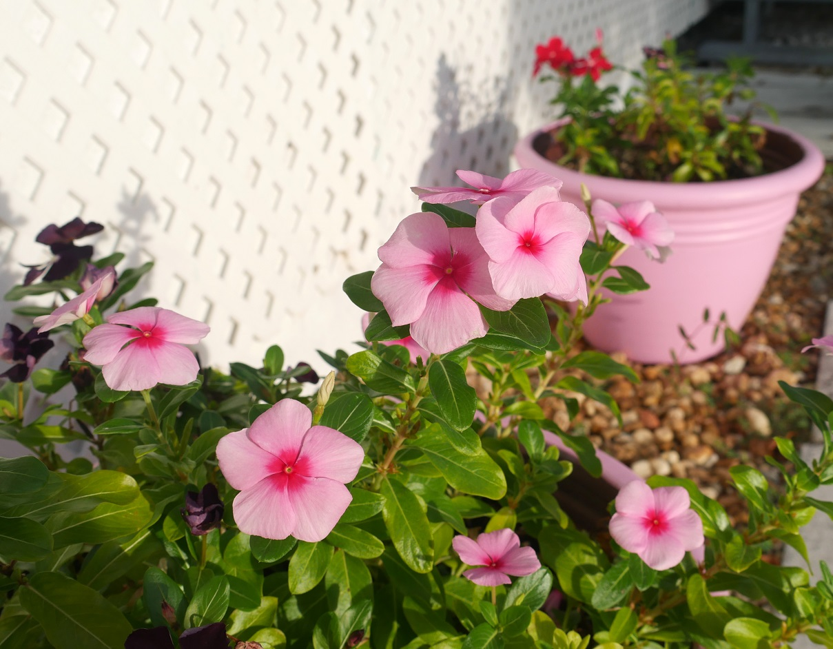 Pink Periwinkles - Green Turtle Cay, Abaco, Bahamas