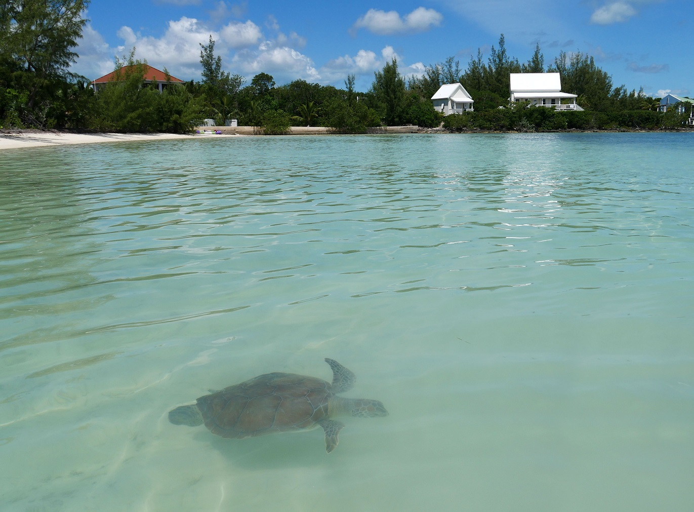 Turtle at Coco Bay, Green Turtle Cay, Abaco, Bahamas
