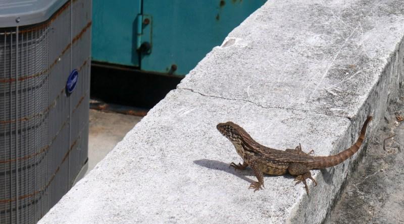 lizard, hope town, abaco, bahamas
