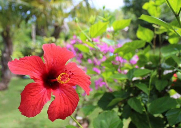 Red Hibiscus, Green Turtle Cay