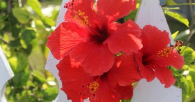 Red Hibiscus, Green Turtle Cay, Abaco Bahamas